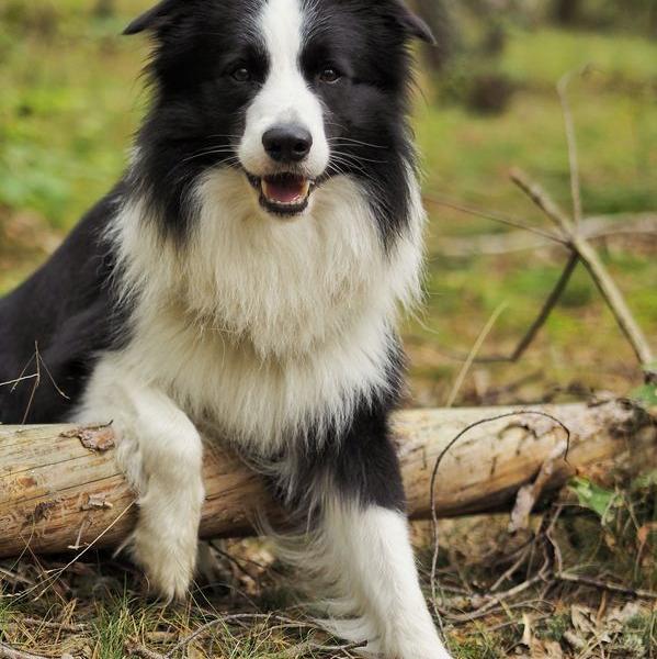 czarno-biały pies